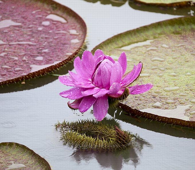 영남대 거울못에 '희귀' 빅토리아연꽃 활짝