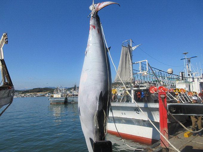 울진 앞바다서 대형 밍크고래 죽은채 발견