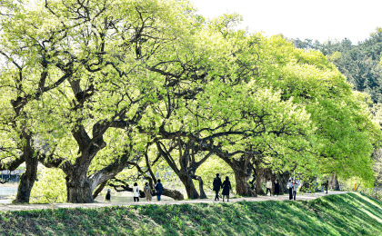 물오른 경산 반곡지 버드나무
