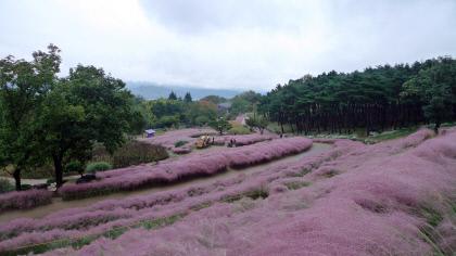 [주말&여행] 경북 칠곡 `가산수피아`…춤추는 핑크뮬리, 울창한 솔숲 `유학산 자락 환상의 정원`