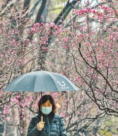봄비 내리는 홍매화 터널