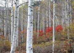 산림청, 영양 수비면 죽파리 자작나무 숲 '국유림의 명품 숲' 선정