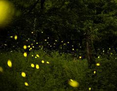 대구 달성군 현풍읍 부근 대규모의 반딧불이 '반짝반짝'