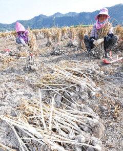 [포토뉴스] 마늘값 폭락 농민 시름