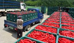 봉화군 계약재배 홍고추 수매 개시...올해 168 농가 500t