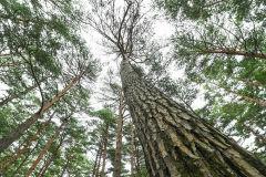 [지금가기 딱 좋은 청정 1번지 영양]〈5〉본신계곡과 금강소나무생태경영림