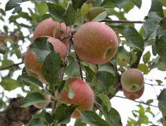 [스마트폰 세상보기] 작년 가을 문경새재 길목, 탐스럽게 열린 사과