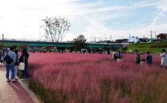 핑크빛 물든 안동 낙동강변 핑크뮬리 그라스원  시민들 포토존 인기