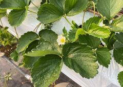 안동시농업시농업기술센터, 겨울철 딸기 보온 환기 통해 온도 습도 관리 당부