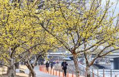 [포토뉴스] 비 내리는 신천둔치...봄 재촉하는 산수유