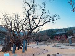 [동네뉴스]대구 달성군 도동서원  '김굉필 나무' 자태