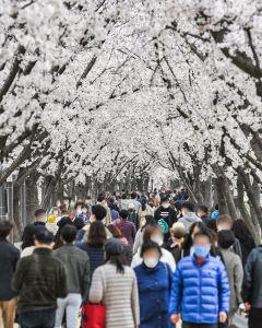 [포토뉴스] 벚꽃 터널 즐기는 시민들