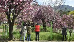 [포토뉴스] 코로나19 때문에 통제되는 겹벚꽃 터널