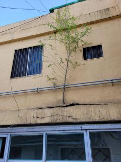 [스마트폰 세상보기] 건물 외벽에서 자라나는 수양버들