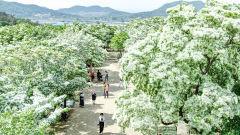 [포토뉴스] 눈꽃 핀 듯...대구 달성 교항리 이팝나무 군락지 만개