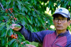 [동네뉴스] 전국 2대 체리 산지, 대구 상동마을은 붉게 물들었다