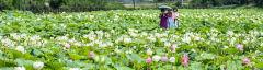 [포토뉴스] 경주 동궁과 월지 연꽃단지, 만개한 연꽃들