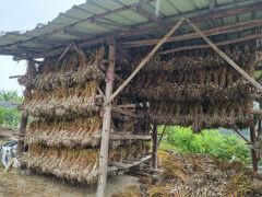 [동네뉴스-스마트폰 세상보기] 전통 방식으로 마늘을 건조하는 경북 의성군 농가 풍경