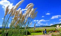 [포토뉴스] 파란 하늘과 팜파스 글라스가 있는 가을