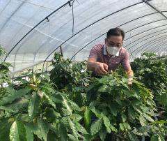 [기후변화 위기를 기회로 .3] 포항서도 커피·바나나 재배…포항, 기온·일조시간 아열대화…커피·바나나 특산물시대 온다
