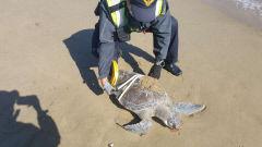 포항 월포해수욕장서 국제 멸종위기종 '푸른바다거북' 죽은 채 발견