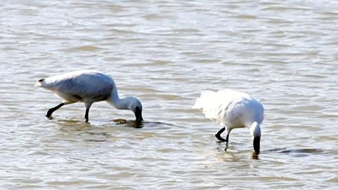 안동서 세계적 멸종위기종 저어새 포착