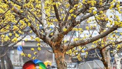 노란 산수유꽃 적시는 봄비